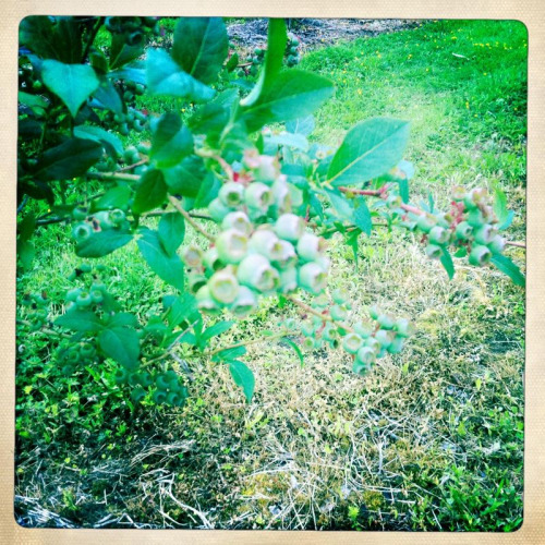 It's not blueberry season yet- there about 6 weeks away from harvest, but I sure live the colors they are at this stage- it's really making me want some garden land.