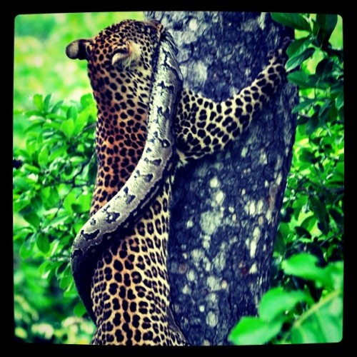 #leopard #southafrica #python #animal  (Taken with instagram)