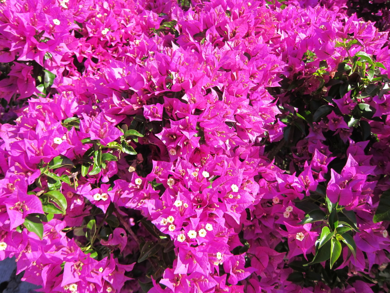 The beautiful bougainvillea at Villa Skinos in Ithaca.