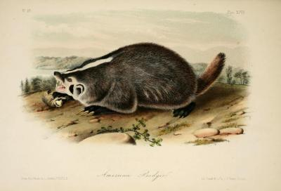 Um. Lost those European Badgers. Here's an American one…it's by Audubon, so hopefully that makes up for it :D Will hunt those European ones down in a sec. From Quadrupeds of North America by John James Audubon. 1851.