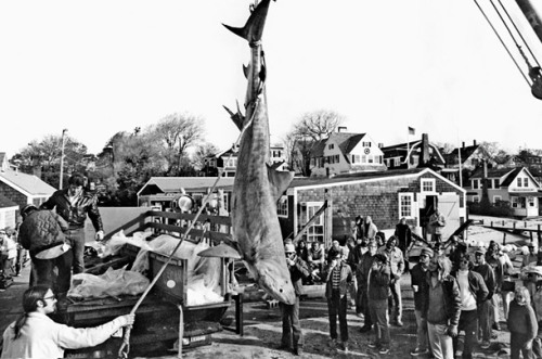 "(via Jaws: Behind-the-Scenes Photos from the Hectic Shoot - Photo Essays - TIME)  The Wrong One For the scene in which a group of bounty hunters hoist up the wrong shark on an Amity Island dock, filmmakers got a group of fishermen in Florida to catch and kill a 13-ft. (4 m) tiger shark. The shark was put on ice and shipped up to Martha's Vineyard via chartered FedEx plane. ""Waiting teamsters raced the shark's makeshift coffin to the walk-in refrigeration unit and Norton & Easterbrook's dock,"" writes author Matt Taylor. ""The following morning, the beast was suspended by its tail and 'wounded' by an almost farcical battery of harpoons, knives, and guns."""