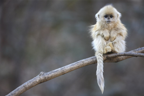 Golden Snub Nosed Monkey submitted by hippiepinup Please all submitters: Submit photos, not text posts with an embedded picture.