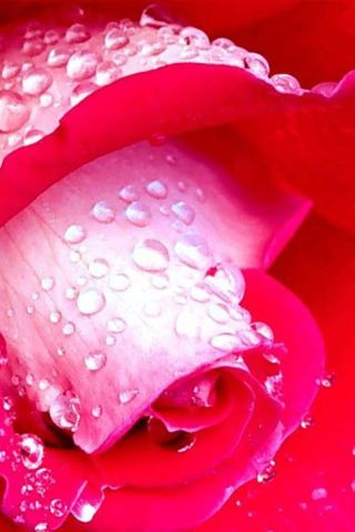love is like a rose…. first you see the petals then you see the thorns