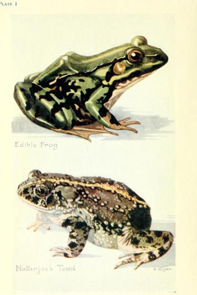 """Edible Frog"" (Rana esculenta) and Natterjack Toad (Epidalea calamita). British Reptiles, Amphibians, and Fresh-water Fishes. W. Percival Westell, 1920."