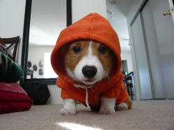 MC Corgi is about to drop some mad rhymes