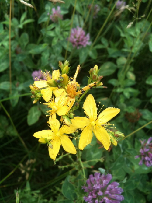 St. John's Wort is in bloom right in time for Summer Solstice- even despite our cooler spring in Michigan!