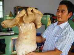"mycology:  ""Binh Duong woman discovers giant mushroom A woman in Thuan An town in southern Binh Duong Province, who went out to exercise yesterday morning, got more than she bargained for – a 40-centimeter edible mushroom. ""It emerged from a bush in an old brick kiln near my house,"" Truong Anh Dao said. ""Initially, I thought it was a conical hat, but upon going closer, I realized surprisingly that it was huge mushroom."" She pulled it by its roots and brought it home. It is 50 cm tall, weighs 3.5 kg, and at its broadest, measures more than 40 cm across. Dao's neighbors flocked to her house to see the extraordinary sight, which seniors later said was an edible pigskin mushroom. They also said it was the largest mushroom they have ever seen. Last October Truong Chin Binh of central Phu Yen Province found a large mushroom, but it was only 15 cm wide. A normal mushroom is only several centimeters across."""