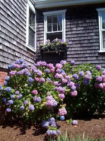 Hydrangea blooms on Nantucket Island, Massachusetts
