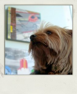 Even Yorkies love LA. From the I Still Heart LA show at Monkeyhouse Toys, LA.