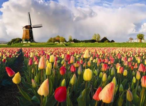 Tulips and windmills… welcome to The Netherlands.