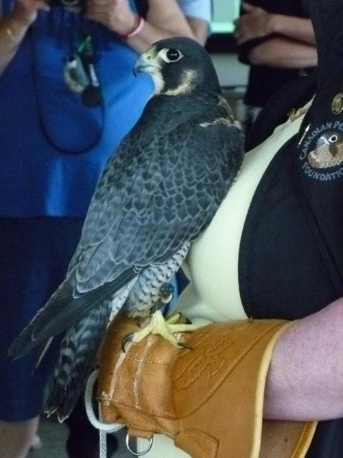 Baby Harlequin, the daughter of peregrine falcon's Quest and Kendal, had her banding ceremony on Tuesday. Here is a photo taken by Jayne at the event!