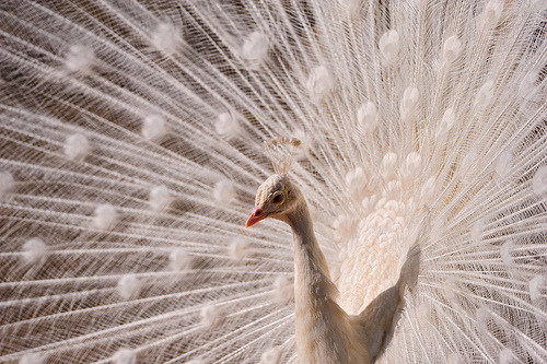 theanimalblog:  White peacock again (by Tambako the Jaguar)