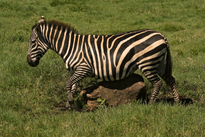 If you've got an itch… Zebras lined up to scratch their bellies on this perfect rock in the Ngorongoro Crater. Way more efficient that relying on your partner…