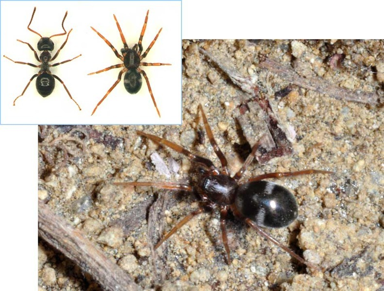 A Cheap Imitation Is Sometimes Best. Many spider species have evolved to look like ants, which helps them avoid being eaten. Unless they are hiding from something that likes to eat ants. (via ScienceNOW)