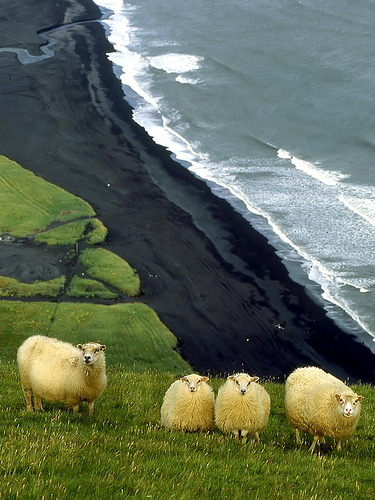 waterlilyjewels: Sheep graze about a black volcanic sand beach in Vik, Iceland by olopez