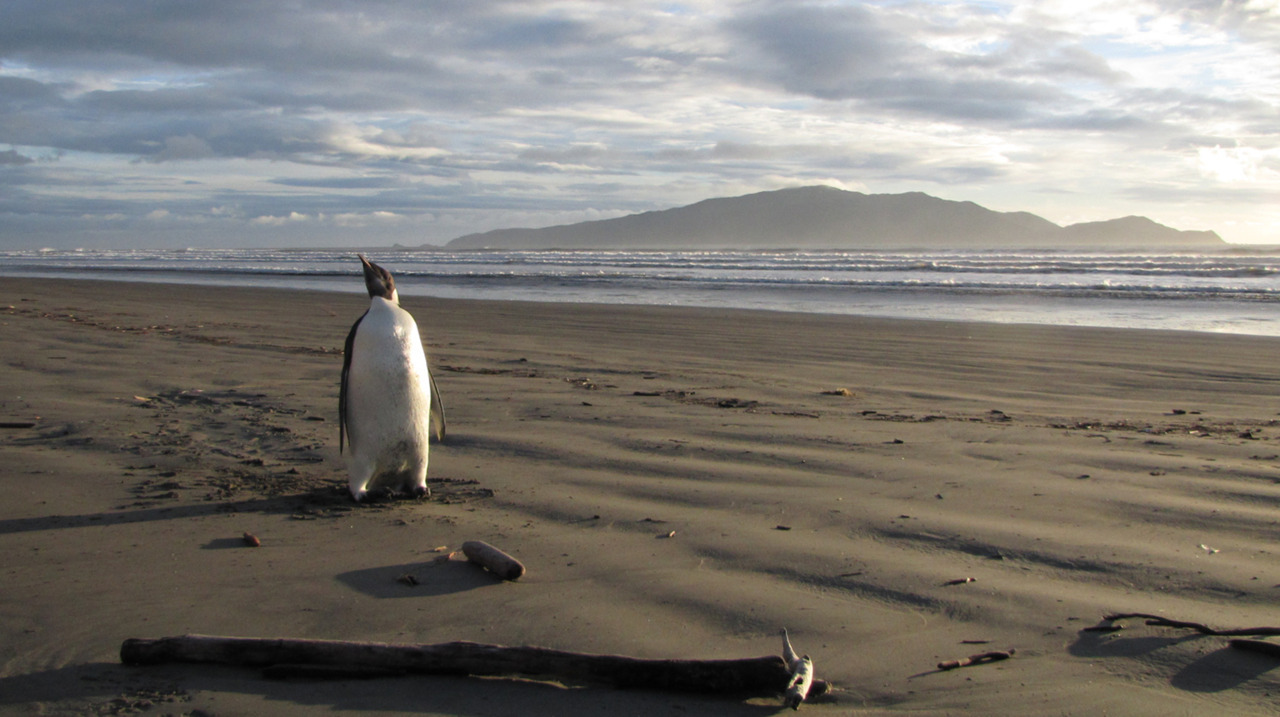Photos of the day An Emperor penguin, a juvenile male, on a beach on the Kapiti Coast, New Zealand, some 3,000 kilometres (1,900 miles) from his Antarctic home. Department of Conservation officers are monitoring the penguin and expected it would eventually depart for the long swim home. (Richard Gill/AFP/Getty Images)