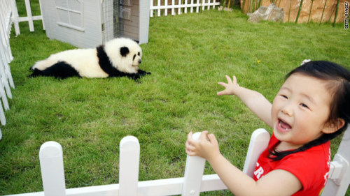 China's latest craze: dyeing pets to look like pandas. Via CNN