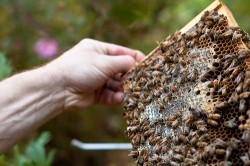 Victory! Santa Monica Legalizes Beekeeping   Following in the footsteps of cities like Atlanta, Chicago, Cleveland, Dallas, Denver, Detroit, Minneapolis, New York, Portland, San Francisco, Salt Lake City, and Seattle — and after receiving nearly 200 signatures each from Change.org members — the Santa Monica City Council voted unanimously to legalize beekeeping. The very night the legislation passed I received an email from Councilmember Kevin McKeown asking me to please call off the Change.org dogs, so you can bet we all had a hand in pushing this law forward! The new ordinance allows up to two hives on residential property as long as keepers register with Animal Control and meet modest hive placement, screening, and management requirements. Hives must be kept five feet from a property line, be provided a water source, and have a six-foot screen, fence, or some kind of vegetation to make sure the bees fly up before they fly out. Otherwise, the hive can be kept eight feet up without a screen. In addition, the city now has a policy of exterminating swarms only as a last resort. Previously, the city had an automatic extermination policy regarding feral bees. Under the new legislation, these renegade bees will be captured and relocated to an apiary in either Ventura or the San Fernando Valley. Only if this is impossible will swarms be exterminated. The new ordinance spells out just how important bees are to society, noting that they provide pollination services vital to up to 30 percent of our food. They also recognize that bee populations have been in trouble for the last 50 years, and that their populations have declined by 50 percent. Because of Colony Collapse Disorder, some beekeepers have noticed their hives dwindling by 30 to 90 percent since 2006. Legalizing beekeeping in Santa Monica will not only boost local food security, it will help conserve beleaguered honeybees. While Santa Monica joined a growing number of locales that let residents keep bees legally, several cities still ban the practice. Los Angeles is one of them. As the victory in Santa Monica showed, our pressure can make a difference on local lawmakers. Sign our petition asking the Los Angeles City Council to legalize beekeeping in all parts of the city. Article:  Kristen Ridley | Photo: David Goehring