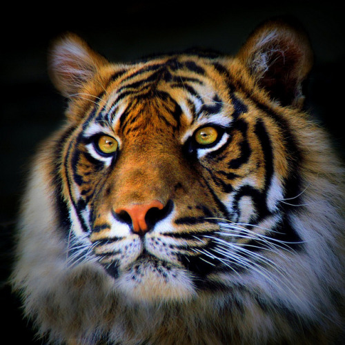 endangered! by rogersmithpix on Flickr. Less than 400 Sumatran Tigers are left living in five national parks and two game reserves on the island of Sumatra. Some live in unprotected forests which will soon be lost to agriculture. Almost three quarters of forests have already been destroyed. Support WildAid's Tiger Trade prevention campaign today to help these majestic creatures!