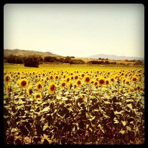 Sunflower fields in Umbria (Taken with instagram)