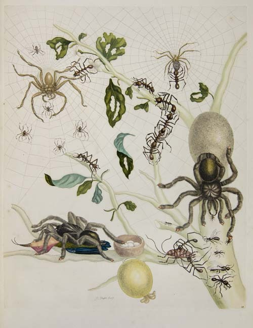 by Maria Sibylla Merian (April 2, 1647 – January 13, 1717)