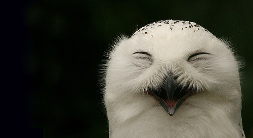 cordisre:  Happy Snowy Owl (by Stephen van der Mark)  Reblogged on TumTum ♻