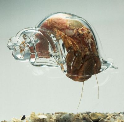 ohscience:  hermit crabs will use whatever shell they can find, including this blown glass shell by robert dugrenier.