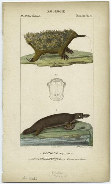 Echidna and Platypus, the monotremes. Confusing creatures, these. The fossil history of monotremes in Australia is only ~2 mil years old, and depicts species that are largely the same as current species. Unlike marsupials, which evolved separately in both in the Pacific Islands and North America simultaneously, there was no convergent evolution of egg-laying mammals in other parts of the world. At least none that we've discovered thus far. Using molecular genetics, we can understand the relations of monotremes to other classes by finding when they diverged and the differences between the species, but it doesn't tell us the steps that they followed to become the creatures they are today. By the way, don't mess with platypods. The males venomous spikes on their back heels and aren't afraid to use them.