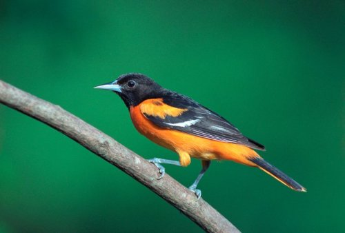 Fotos from National Audubon:  Baltimore Oriole (Icterus galbula) Some Baltimores travel from as far away as Colombia and Venezuela in spring migration to nest in Canada and the U.S., and  they'll travel up the Central, Mississippi, and Atlantic Migratory Flyways. (Photo: Bill Stripling)