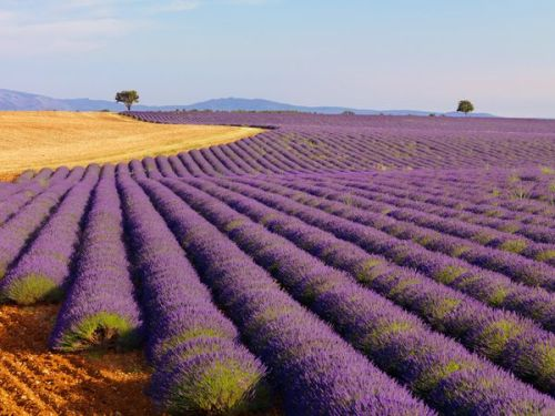 Fragrant fields of lavender are common in French provinces such as Provence, where lavender festivals help stimulate tourism.