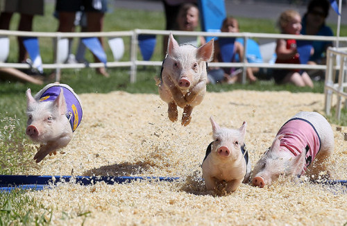 brooklynmutt:  California, USA: All-Alaskan Pig Racing Justin Sullivan/Getty Images guardian.co.uk