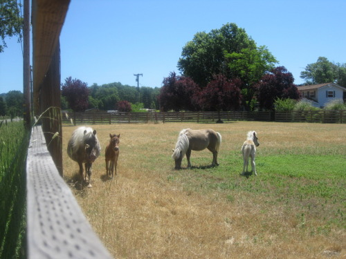 or the ACTUAL mini-horses and their babies.