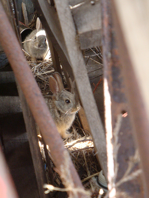 I saw these baby bunnies hiding next to my father in law's barn. They thought they were sneaky, but they ended up looking adorable.