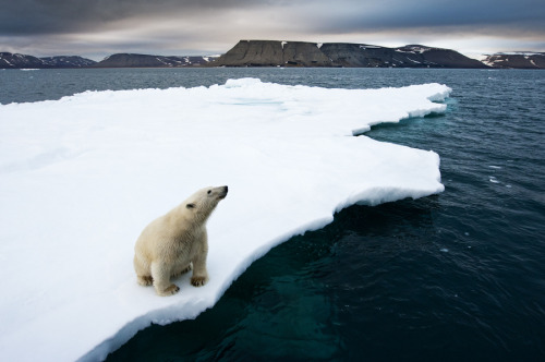 "kari-shma:  (via 500px / Photo ""Polar Bear on Melting Ice"" by Paul Souders 