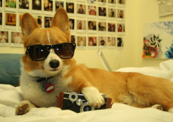 This corgi is too cool for school. Not that he could go anyway. Because he's a dog.