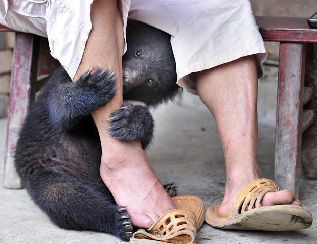 "allcreatures:  A bear cub hides behind farmer Tian Shougui's legs in Yukong village, Yibin city, Sichuan province, China. The farmer has been taking care of twin black bears at his house since he found them on his farm in April. One is male, the other is female. The twins have fully recovered with the loving care from their adoptive ""mother"" Tian. ""I just want to raise them up to some 10 to 15 kg and then I will let them go free,"" said Tian. Picture: Feature China / Barcroft Media (via Animal pictures of the week: 24 June 2011 - Telegraph)"