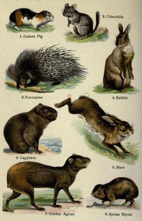 "ofpaperandponies:  capntrips:  biomedicalephemera:  Rodentia. Capybaras are the largest extant rodents, and live throughout the forested and swampy parts of South America. They love water, and the name ""capybara"" comes from the Paraguayan Guarani word Kapiÿva, meaning ""Master of the Grasses"".  The Handy Natural History. Ernest Protheroe, 1910.   Rabbits/hares are no longer considered to be rodents, they are now considered lagomorphs.  Very good point. I meant to bring that up when I saw the plate only labeled as ""Rodentia"", but got caught up in the capybara being the grass-master. Lagomorphs were considered to be a superfamily of the Rodentia order since ~1855 (defined by Brandt), but since the early 20th century, have been considered an order of their own. Fun fact: one of the primary differentiations between rodents and lagomorphs is that rodents have a baculum (penis bone), while lagomorphs do not."