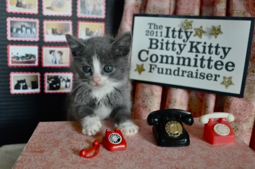 The Itty Bitty Kitty Committee is having a fundraiser today! Donate now! Saw this on Cute Overload today and couldn't resist posting this picture. It's so totally too cute! They are raising money today for The Humane Society for Tacoma and Pierce County in Washington. Last year, they raised $48,000! They are shooting for $50,000 this year—can you help? They are so cute in their efforts!