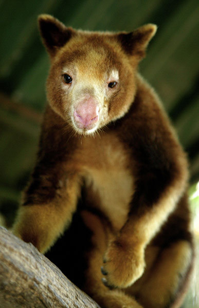 A captive Huon or Matschie's tree kangaroo  (Dendrolagus matschiei), National Botanic Gardens, Port Moresby. Despite  a body designed to hop along the ground, many species in New Guinea  have evolved to live in the forest canopy, where there are rich pickings  of food New Guinea's newly discovered species - in pictures Photographs of New Guinea's incredible range of previously unknown species Source: http://www.guardian.co.uk/environment/gallery/2011/jun/26/wwf-animal-research#/?picture=376126195&index=7