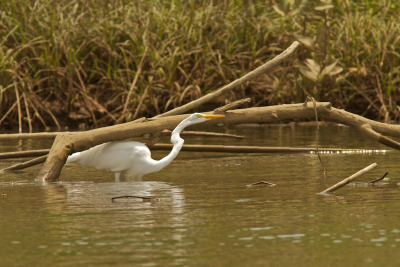 We were in a mangrove in Costa Rica when we came across this snowy egret creeping down low under the tree branch. I had never seen a a heron or egret this deep in water.