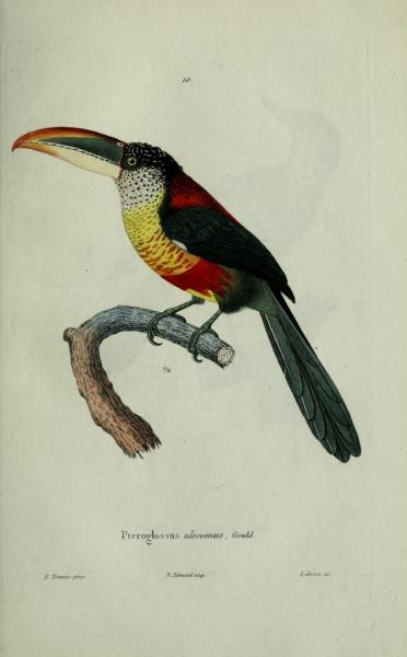 "Pteroglossus ulocomus, the Curl-crested Araçari. Now known as Pteroglossus beauharnaisii.  I like the name of these Toucans. ""Ptero"" means ""of the wing"" or ""wing"", and ""-glossus"" means ""pertaining to the tongue. Tonguewings!  From Voyage Autour de Monde par les Mers de L'Inde et de Chine. Captain M. Laplace, 1832."