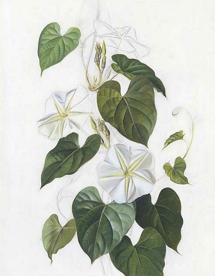 Paul Jones Ipomea Alba (Moonflower) 20th century