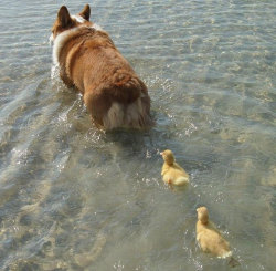 A new found mom for these poor abandoned birds?Nope. Just a corgi with a duck problem.
