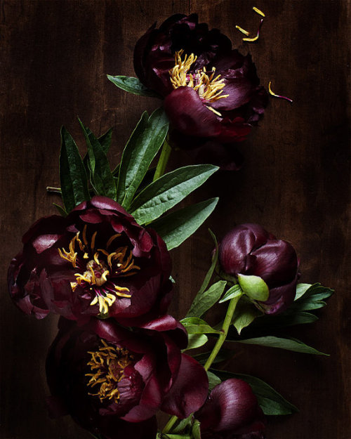 Black flowers. Black Peonies. Is there anything else to say?