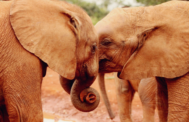 Elephants mirror humans in terms of emotion, sense of family, sense of death. They possess all the best qualities of the human animal, and few of the bad. Humans need to understand that they, too, are animals, and nature puts many species on a different branch of life, but in their own way, they are equally as sophisticated. Elephants, dolphins, and whales are identical to humans in terms of emotion, far better in terms of caring and compassion, and are peace-loving creatures.