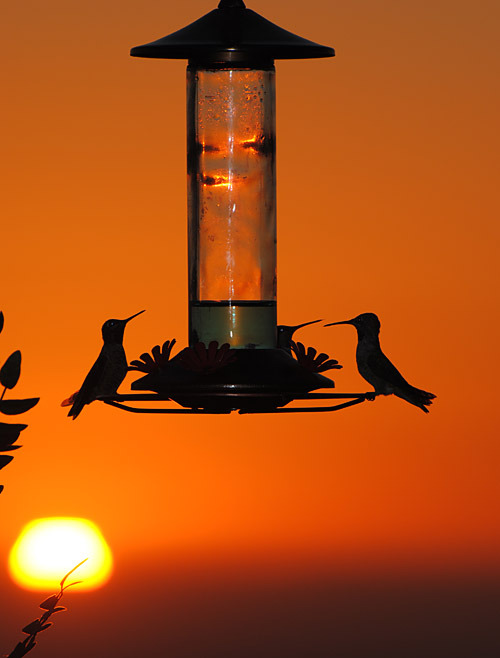 Anna's Hummingbirds (Calypte anna) at dusk