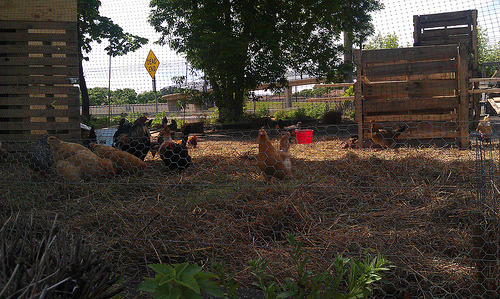 Urban Chickens (by ap^)