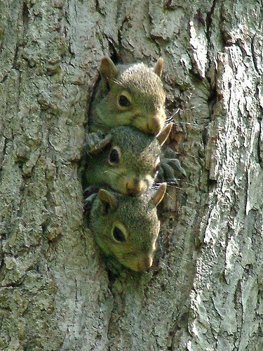 laureola:  3 Baby Squirrels - Kennerdell (by visitPA)