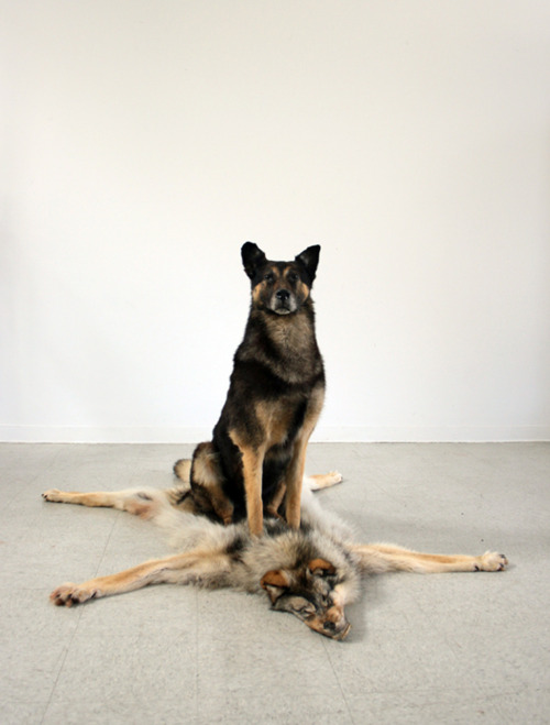 "Mike Calway-Fagenas,The Progression of Regression, 2010 taxidermied german shepherd, old wolf pelt 73"" x 49"" x 42"""