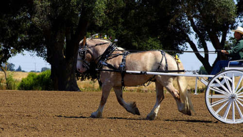 Vermont uses draft horse to lay cable for Internet accessAn aging Belgian draft horse named Fred is part of a team racing to bring broadband Internet access to all corners of Vermont by 2013.